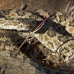 Great Basin Rattler - Image 4 of 50