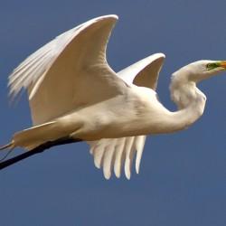 Great Egret - Image 5 of 50
