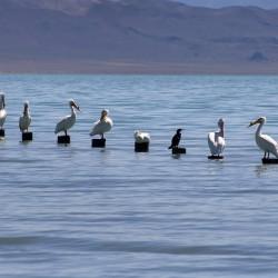 Pyramid Lake Pelicans - Image 13 of 50
