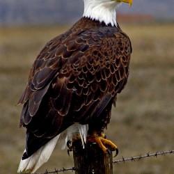 Bald Eagle - Image 44 of 50