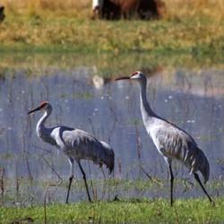 Sandhill Cranes - Image 31 of 50