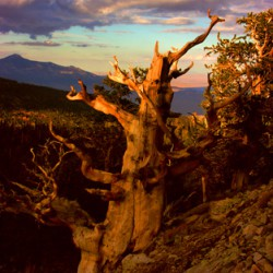 Bristlecone Great Basin National Park - Image 34 of 50