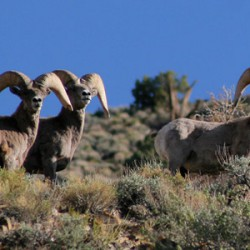 Big Horn Sheep - Image 20 of 50