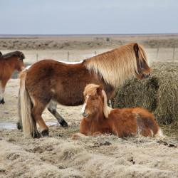 Icelandic Horses - Image 2 of 8